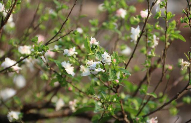 Những gốc mai trắng có tuổi gần 10 năm được chủ vườn rao bán 20-40 triệu đồng. Hoa mai trắng cho thời gian chơi trong 1 - 2 tháng.
