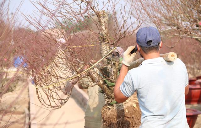 Tại một nhà vườn ở Nhật Tân, việc đánh chuyển đào đang diễn ra khá tất bật.