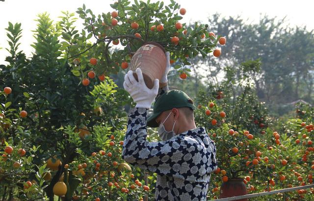 Công việc chính trong những ngày cao điểm tại các nhà vườn là đánh chuyển đào, quất từ vườn lên bồn, di chuyển cây ra các địa điểm bày bán ven đường.