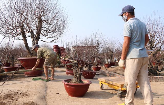 Chủ một vườn đào ở Nhật Tân cho biết, càng gần Tết, nhu cầu nhân công càng nhiều. Sang tuần tôi sẽ thuê thêm 4 người làm thời vụ. Người làm cho gia đình thường là những người quen, cứ dịp Tết lại từ quê lên đây.