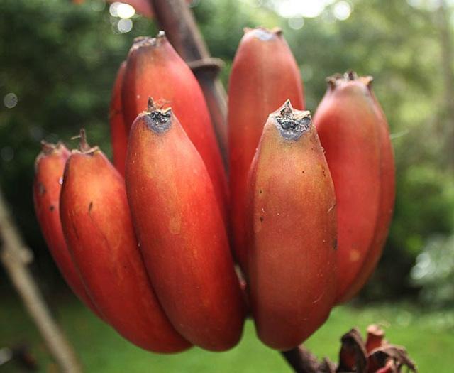 Hiện nay, vườn của gia đình chị Hoàng Quyên trồng khoảng 100 cây chuối Dacca sắp vào thời gian thu hoạch.