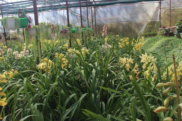 Lâm Đồng: Địa lan nở sớm, nhiều nhà vườn đứng ngồi không yên