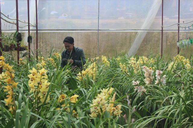 Hoa địa lan bung nở trước Tết khiến nhà vườn đứng ngồi không yên