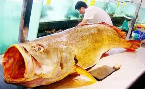 Cá sủ vàng có giá bạc tỷ, theo chuyên gia, bộ phận quý nhất của loài cá này là bóng cá, dùng làm chỉ tự tiêu. Ảnh: IT