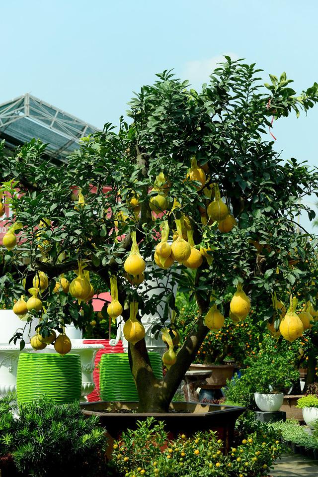 Bưởi Diễn càng lâu năm, nhiều trái giá càng cao.