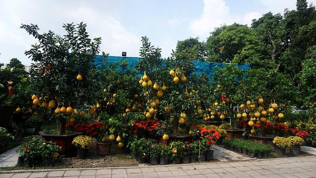 Những cây bưởi Diễn có xuất xứ từ miền Bắc, được người dân Sài Gòn ưa chuộng vào mỗi dịp Tết.
