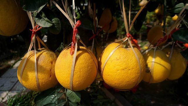 Những trái bưởi vàng ươm, được chằng buộc cẩn thận.