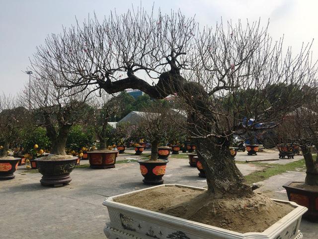 Những gốc đào thế được chủ rao bán với giá khoảng 8 triệu đồng/cây.