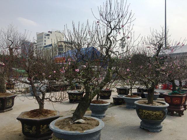 Theo ông Nguyễn Huy Thông, một người buôn đào tại quảng trường Lam Sơn, thành phố Thanh Hóa cho biết, những cây đào thế này có giá từ 10 - 15 triệu đồng. Đây là những cây đào được lấy gốc từ trên rừng về rồi ghép vào nên có thế rất đa dạng, đáp ứng nhu cầu đa dạng của khách chơi đào.
