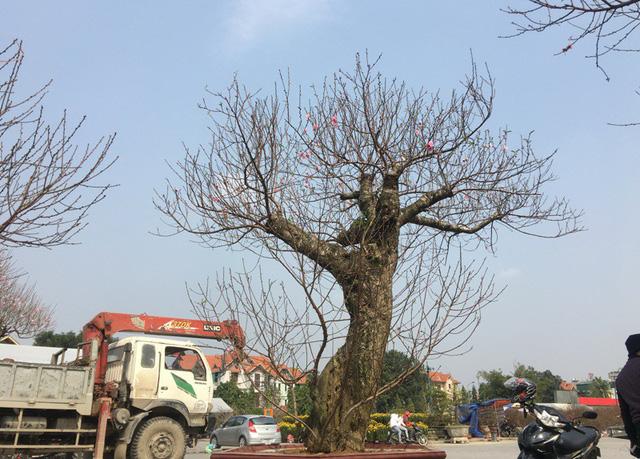 Một cây đào thế có giá 45 triệu đồng đã có chủ.