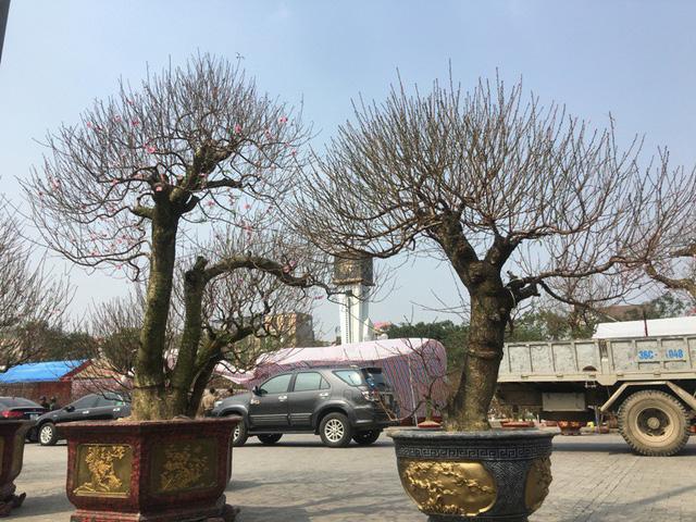 Theo những người bán đào cảnh tại hội chợ hoa xuân cho biết, những cây đào khủng chủ yếu được đưa về từ Hà Nội, Hải Phòng...