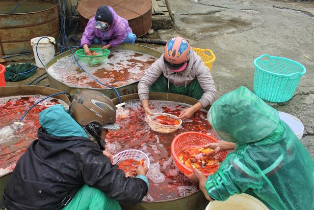 Các tiểu thương mua lẻ khoảng 20 - 30 kg cá về bán lẻ tại các chợ nhỏ, chợ cóc. (Ảnh: Hồng Vân)