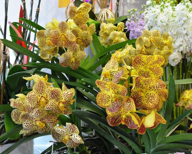 """Lan Vanda được nhập từ Thái Lan với giá 6 triệu đồng/chậu, loại hoa nhập từ """"xứ sở chùa vàng"""" có thể giữ tươi được 45 ngày."""