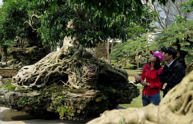 Nhiều người tham quan hội hoa không khỏi trầm trồ khen ngợi dáng cây khá đẹp và công phu. Bộ rễ được tạo dáng hình kim quy nằm trên tảng đá.