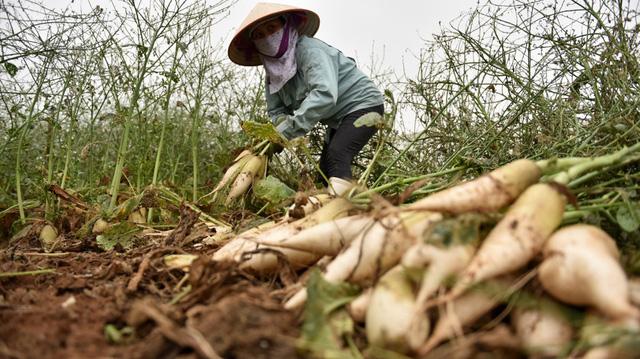 Dân đổ củ cải, su hào, Bộ Nông nghiệp nói đó là sản phẩm quá lứa thu hoạch!?
