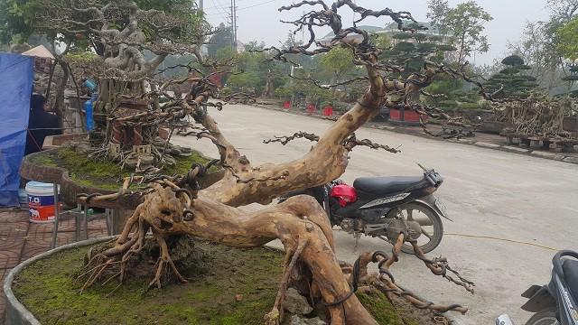 Theo ông Minh, hiện đã có một số khách trả giá cây ổi  kiểng gần 70 triệu đồng nhưng ông chưa muốn bán mà chờ được giá cao hơn gia đình mới xuất vườn.