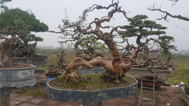 Cây ổi găng độc đáo này có tuổi đời hơn 50 năm và chiều cao hơn 1 m.