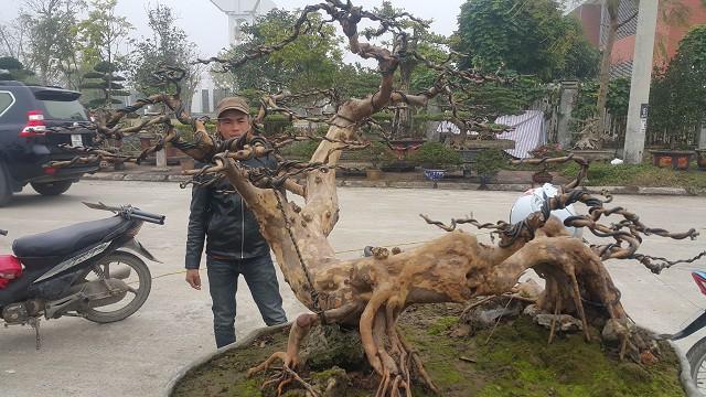 Rễ cây ở giữa thân thả xuống mặt đất giống như cây sanh, rất hiếm khi thấy ở cây ổi.