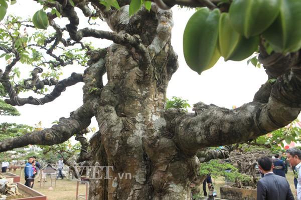 Dù đã nhiều tuổi, cổ thụ nhưng cây khế kiểng trên của anh Toàn vẫn cho quả nhiều.