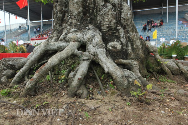 Gốc cây to một người lớn ôm không xuể, xù xì, nổi u cục . Phần gốc cây và phần thân cây phía trên được phân rõ ràng bởi các cành cây mọc chìa ra xung quanh.