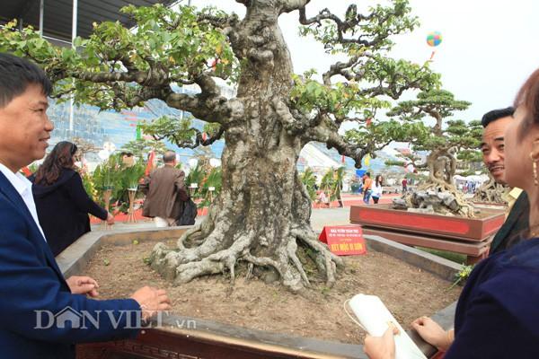 Thân cây khế cổ thụ của anh Toàn mốc xù xì chứng tỏ cây đã nhiều năm tuổi. Phần ngọn cây nhỏ dần trông giống một ngọn núi.