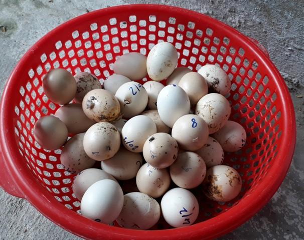 Phối giống đồng huyết sẽ cho ra con gà cảnh đẹp nhưng tỷ lệ trứng nở rất thấp, khoảng 1/100. Trong ảnh là số trứng bị hỏng do không nở được. Ảnh: Ngọc Vũ.