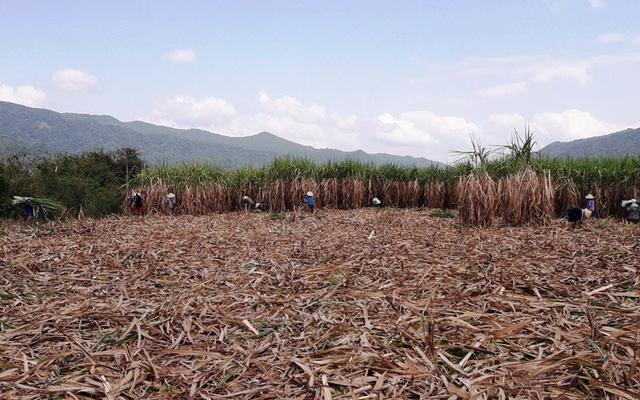 Nhà máy đường An Khê (Gia Lai) giải cứu mía cho nông dân Bình Định trong điệu kiện Bisuco bị đình chỉ sản xuất.