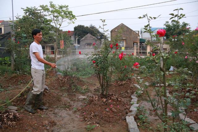 Dù bận nhiều công việc nhưng hàng ngày anh Hưng vẫn dành những thời gian nhất định để chăm sóc vườn hồng có một không hai của mình.