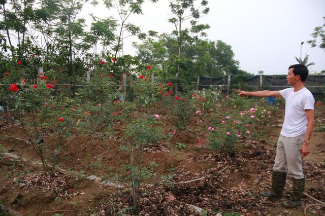 Phải mất rất nhiều công sức và tiền bạc, anh Hưng mới mua về được 300 cây hồng cổ từ khắp nơi mang về trồng.