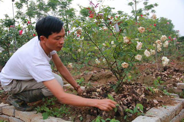 Trong vườn anh Hưng hiện có 300 cây hồng cổ, với trên chục loài. Cây cổ nhất đã 60 năm tuổi.