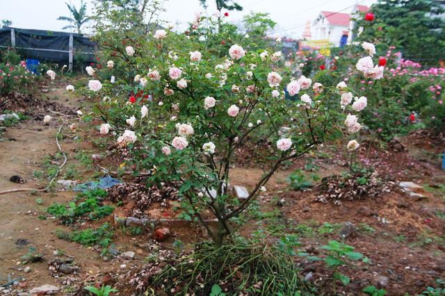 Nhiều cây hồng cổ sau thời gian chăm sóc đã rất đẹp, có người đến mua trả giá gấp đôi gấp 3 lúc mua vào nhưng anh Hưng chưa quyết bán.