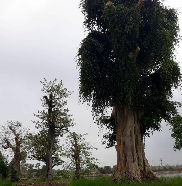 Một cây cổ thụ khác trong khu vực này cũng mới được đưa từ nơi khác về trồng.