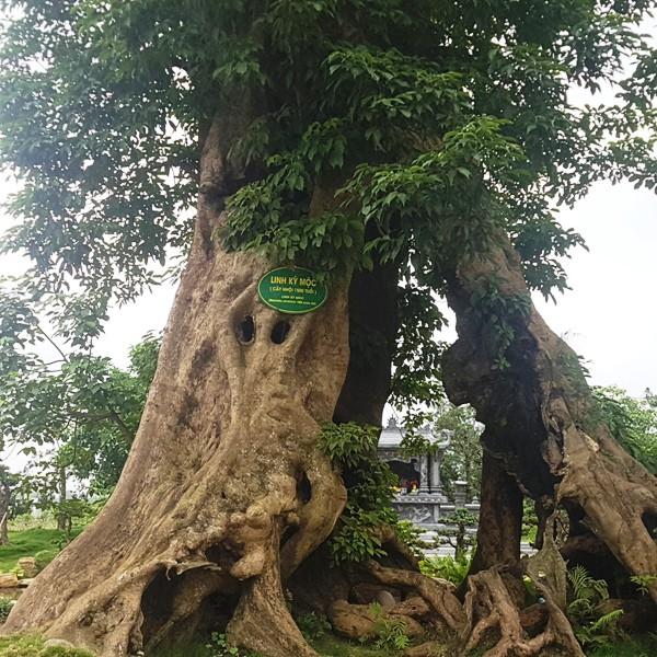 Cây Linh Kỳ Mộc 1.500 tuổi.