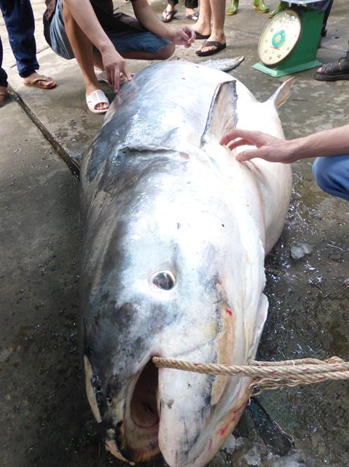 cá khủng,cá lạ,thủy quái,cá tra dầu,cá hô