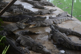 Giá cá sấu tăng, người nuôi vẫn lo vì quá phụ thuộc thị trường Trung Quốc