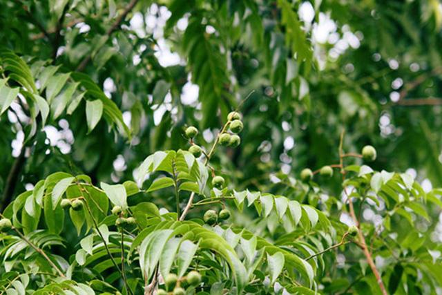 Những quả sấu đầu mùa mang lại khoản thu nhập khá cho nhiều người nhện trèo sấu trong khoảng 2 tháng đầu hè.