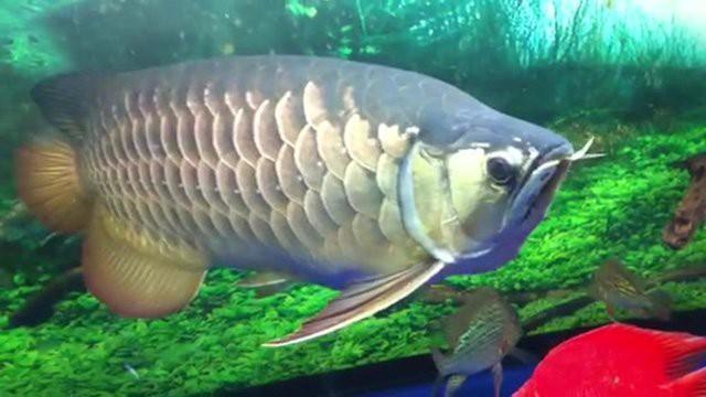 Cá hắc long hơi nhỏ hơn cá ngân long, chúng có kích thước tối đa 1m.