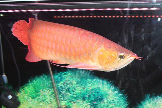 Cá rồng biến đổi về xương với hình dáng cực độc có giá 19.000USD.