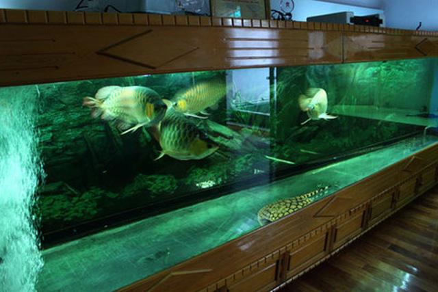 Thủy cung của năm chú huyết long tại nhà anhChính Ngọc - một người chơi cá rồng nổi tiếng ở Hà Nội.
