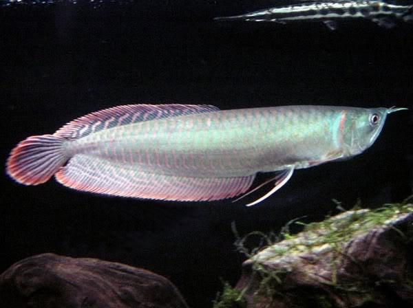Cá ngân long là loài cá rồng được nuôi phổ biến nhất.
