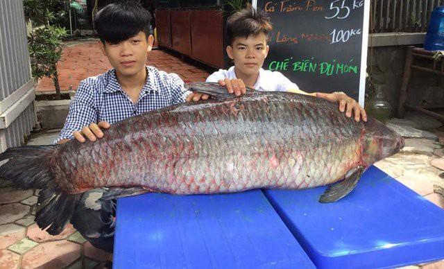 Trước đó, vào hồi tháng 4 vừa qua, một con cá trắm đen nặng 61kg, dài 1,5m cũng được ngư dân đánh bắt trên hồ Thác Bà. Sau đó, con cá đã được một nhà hàng ở Hà Nội mua ngay.