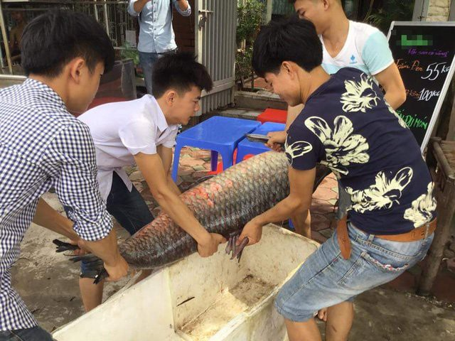 Ngay sau khi đánh bắt được cá khủng, nhóm ngư dân đã bán con cá cho một nhà hàng ở Hà Nội để chế biến phục vụ thực khách.