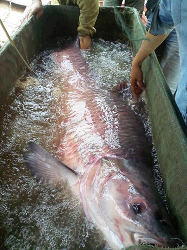 Con cá đã được bán cho thương lái với giá 18 triệu đồng.
