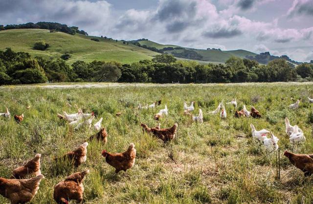Từ 20 con gà thả đồi, ông Tây thu nhập hơn 2.200 tỷ đồng/năm