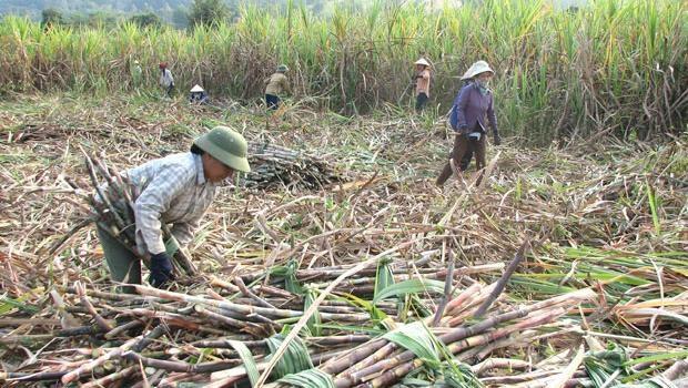 Tâm thư kêu cứu của ngành mía đường được chuyển tới 4 bộ ngành