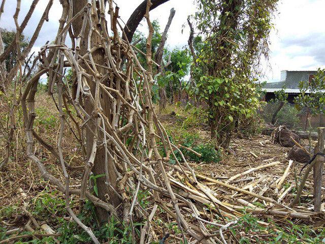 Gia Lai: Vụ thu mua gốc, rễ hồ tiêu chết: Cơ quan điều tra vào cuộc