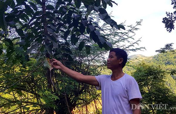 Cây con được ông Độ lấy cành ghép cao lớn mặc dù ông mới trồng chưa lâu.