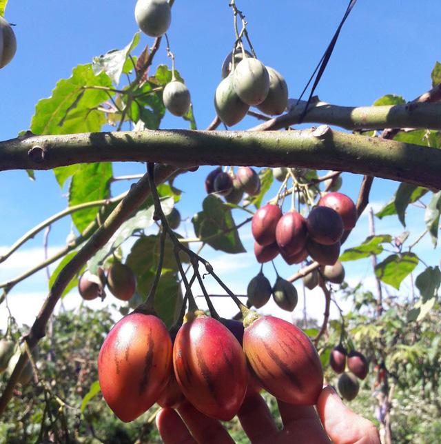 Anh Mạnh Khương - một đầu mối bán cà chua thân gỗ ở Cân Thơ - cho biết, giá loại cà chua này hạ nhiệt vì chúng đã được một số nhà vườn ở Đà Lạt (Lâm Đồng) trồng thành công và bắt đầu cho thu hoạch.