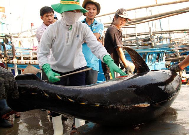 Kiểm tra chất lượng cá ngừ đại dương tại cảng cá Quy Nhơn