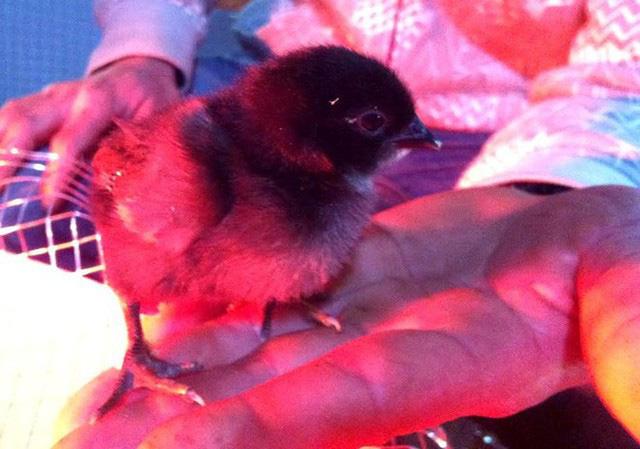 Một con gà giống dưới 3 tuần tuổi có giá từ 500.000 đến 1 triệu đồng. Ảnh: Diệp Sa